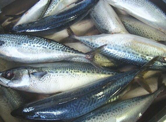 青森県八戸沖で獲れた新鮮な真鯖です