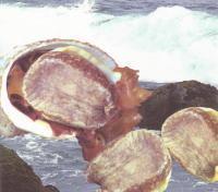 新鮮なチリあわび(ロコ貝)の秘伝醤油漬け
